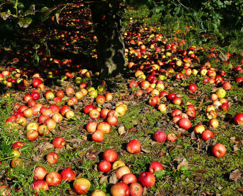 Les pommiers de la ferme de l'Hermitière près de Granville