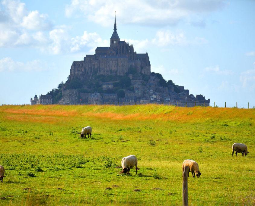 Les moutons du pré salé et le Mont-Saint-Michel