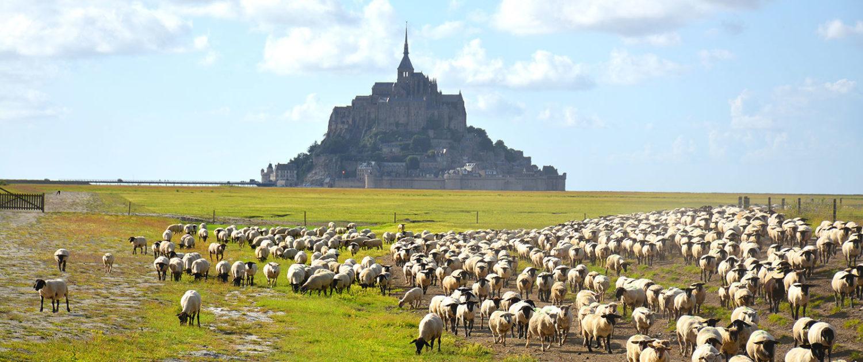 Les moutons du pré salé dans la baie du Mont-Saint-Michel