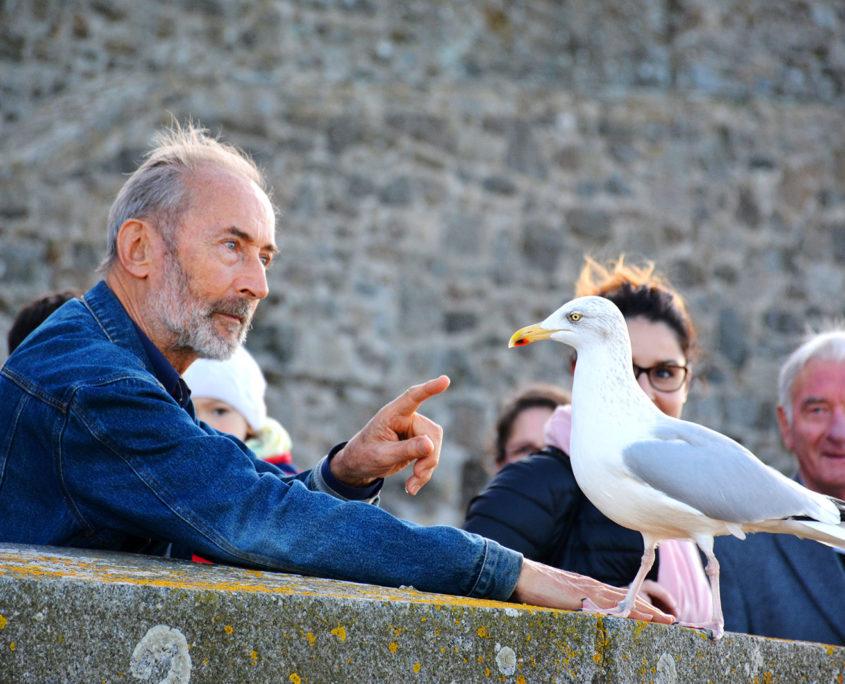 Goéland sur les remparts de Saint-Malo