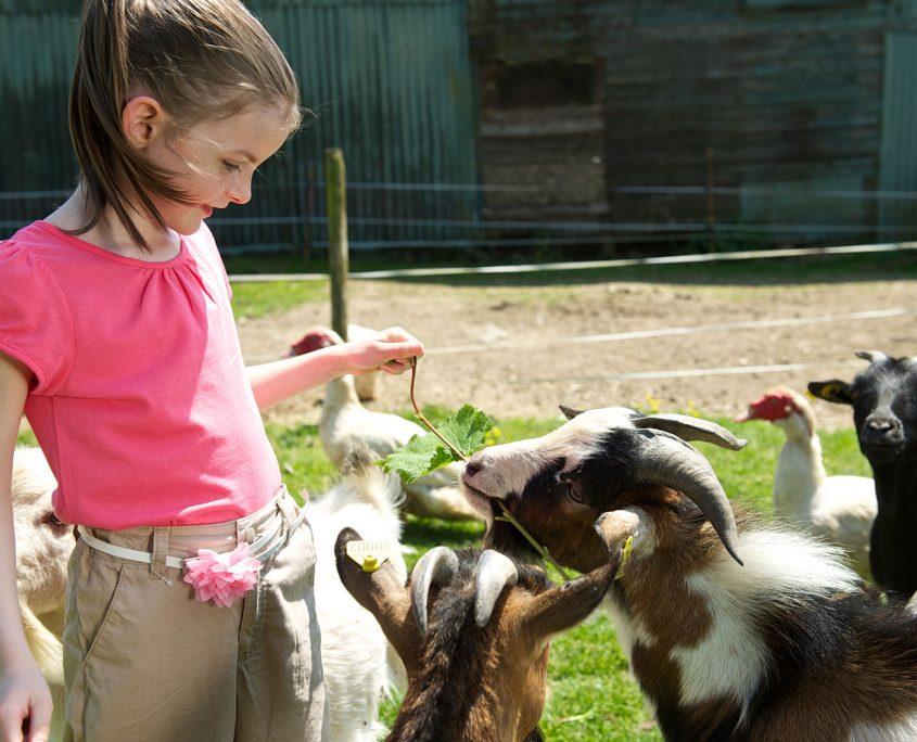 Visite en famille d'une chèvrerie