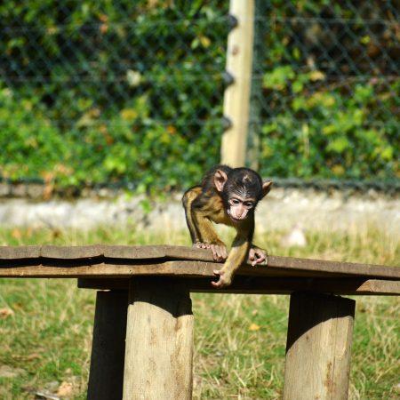 Bébé singe du Zoo de Beauval