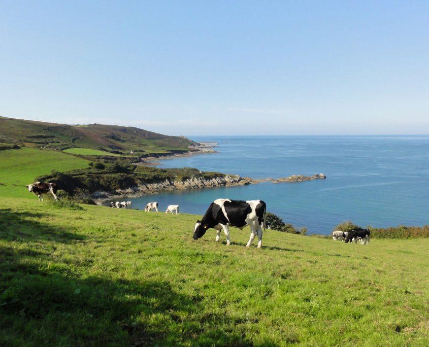 Vaches dans la campagne normande