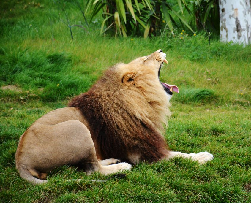 Lion au Zoo de Beauval