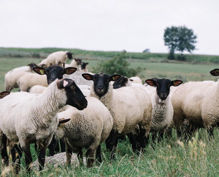 Moutons du Mont-Saint-Michel